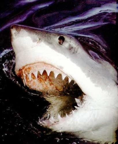 requin_grand_blanc.jpg